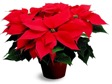 Cover photo for Holiday Poinsettia