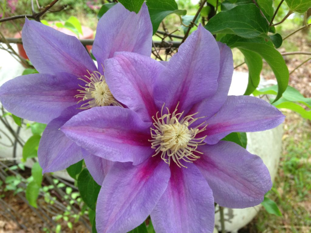 Clematis flower: varieties, planting and care, reproduction 20