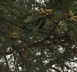 Cover photo for Pine Pollen