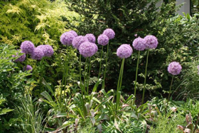 purple ornamental onions
