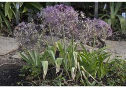 Purple Star of Persia plant