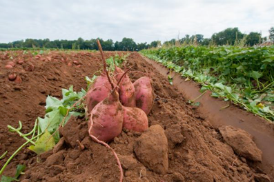 Sweet potatoes in a row of dirt