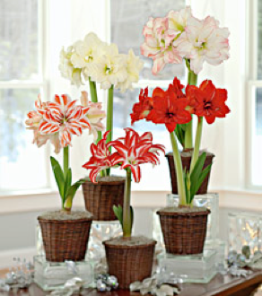 Amaryllis for christmas north carolina cooperative extension for Bulbes amaryllis conservation