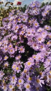Image of Aster Woods