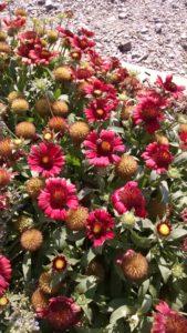 Image of blanket flower