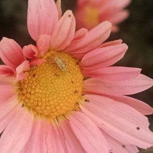 Image of pink chrysanthemum