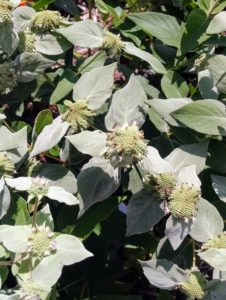 Image of mountain mint