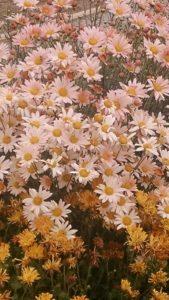 Image of Chrysanthemum 'Sheffield'