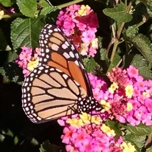 Image of Monarch Butterfly on Lantana
