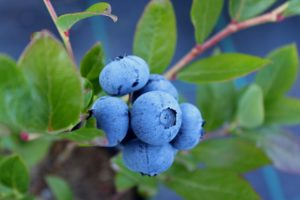 cluster of ripe blueberries