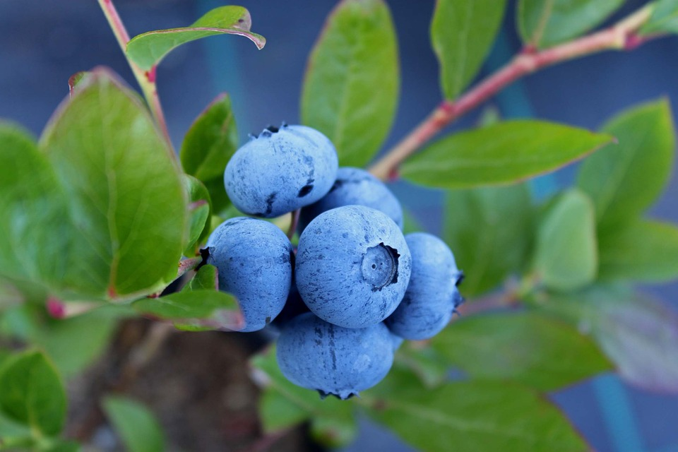 cluster of blueberry fruit