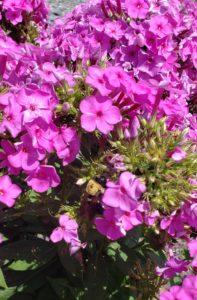 Phlox paniculata, Bumblebee