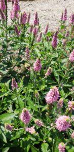 Image of Garden Speedwell