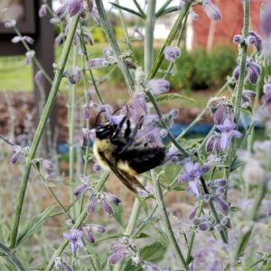 Image of Russian Sage with Bee