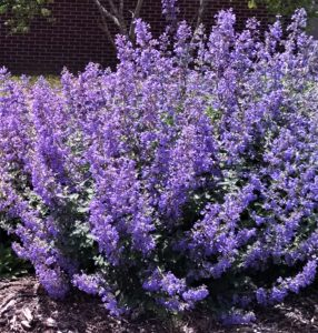 Image of Russian Sage