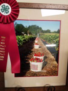 Photo of a strawberry farm