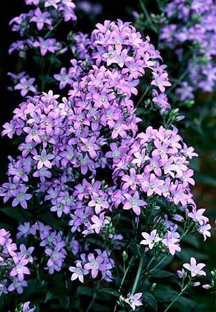 Image of bellflower