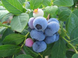 Cover photo for Blueberries in the Home Garden