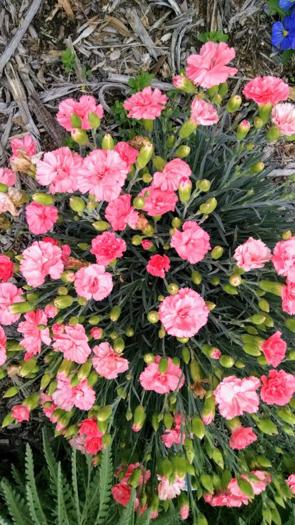 Image of Dianthus