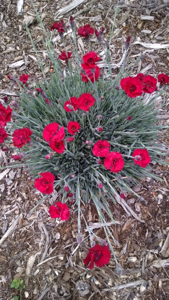 Image of red Dianthus