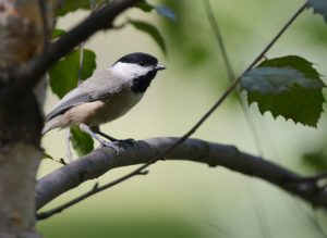 Carolina Cickadee Bird