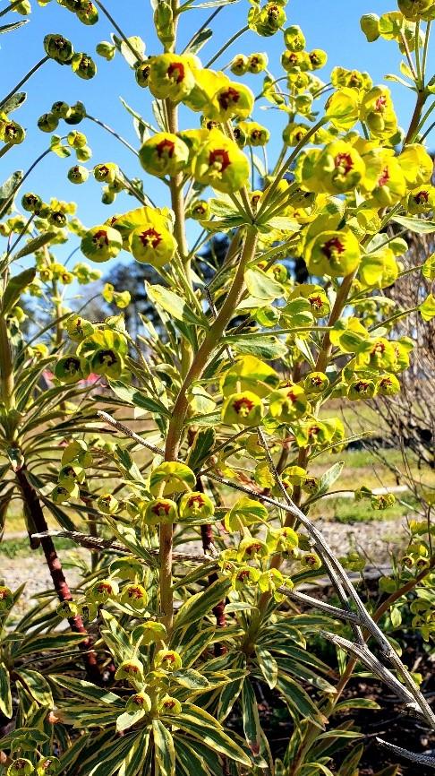 Image of Euphorbia x martinii