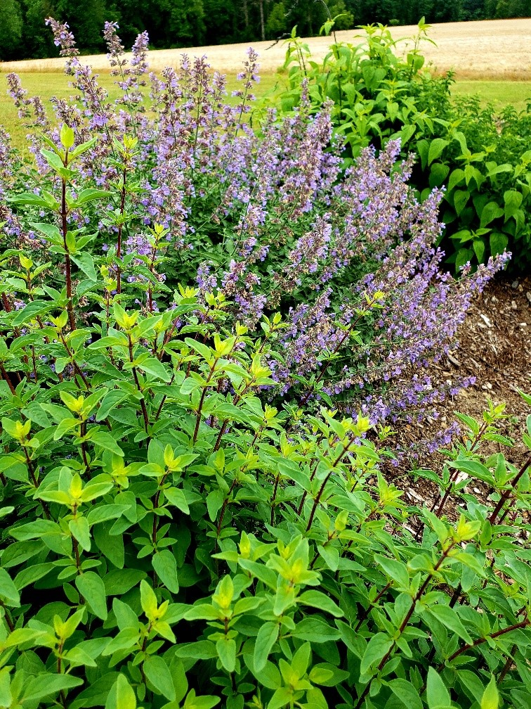 Image of catmint and thyme
