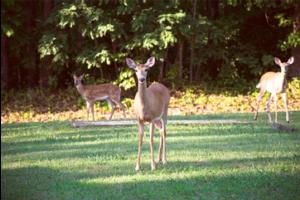 White-tailed deer 19Aug2015 lamjohnm
