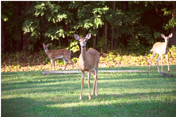White-tailed deer 19Aug2015 lamjohnm