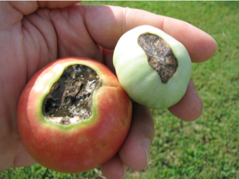 Heat Damaged Tomatoes