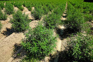 Cover photo for Hemp 101: A Beginner's Guide to an Emerging Crop
