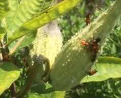 Milkweed bugs on Milkweed