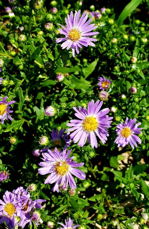 woods aster