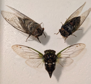 Cover photo for The Dog-Day Cicadas of Summer Are Back, and With More Friends This Year