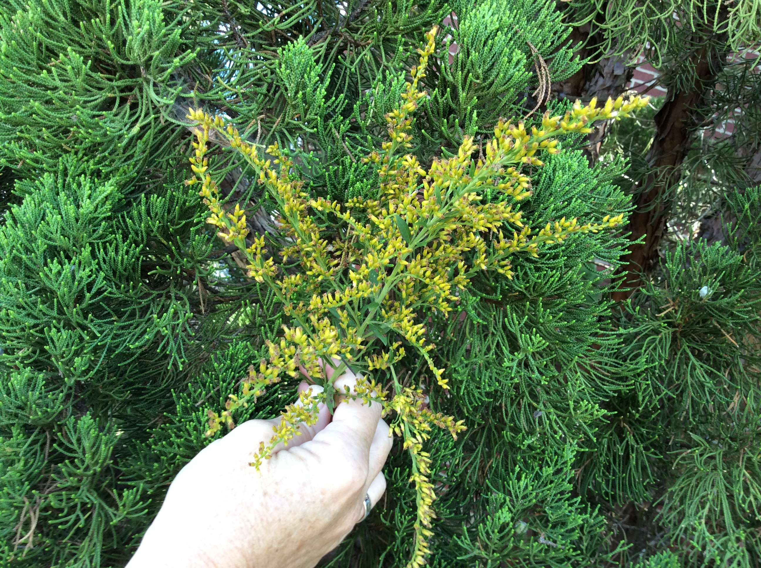 photo of cedar tree and yellow flower for wreath making