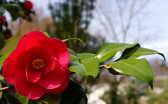 Cover photo for Tea Scale Pests on Camellias