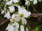 Cover photo for Spot Anthracnose on Dogwood