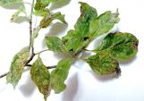 Leaf spot anthracnose on Dogwood
