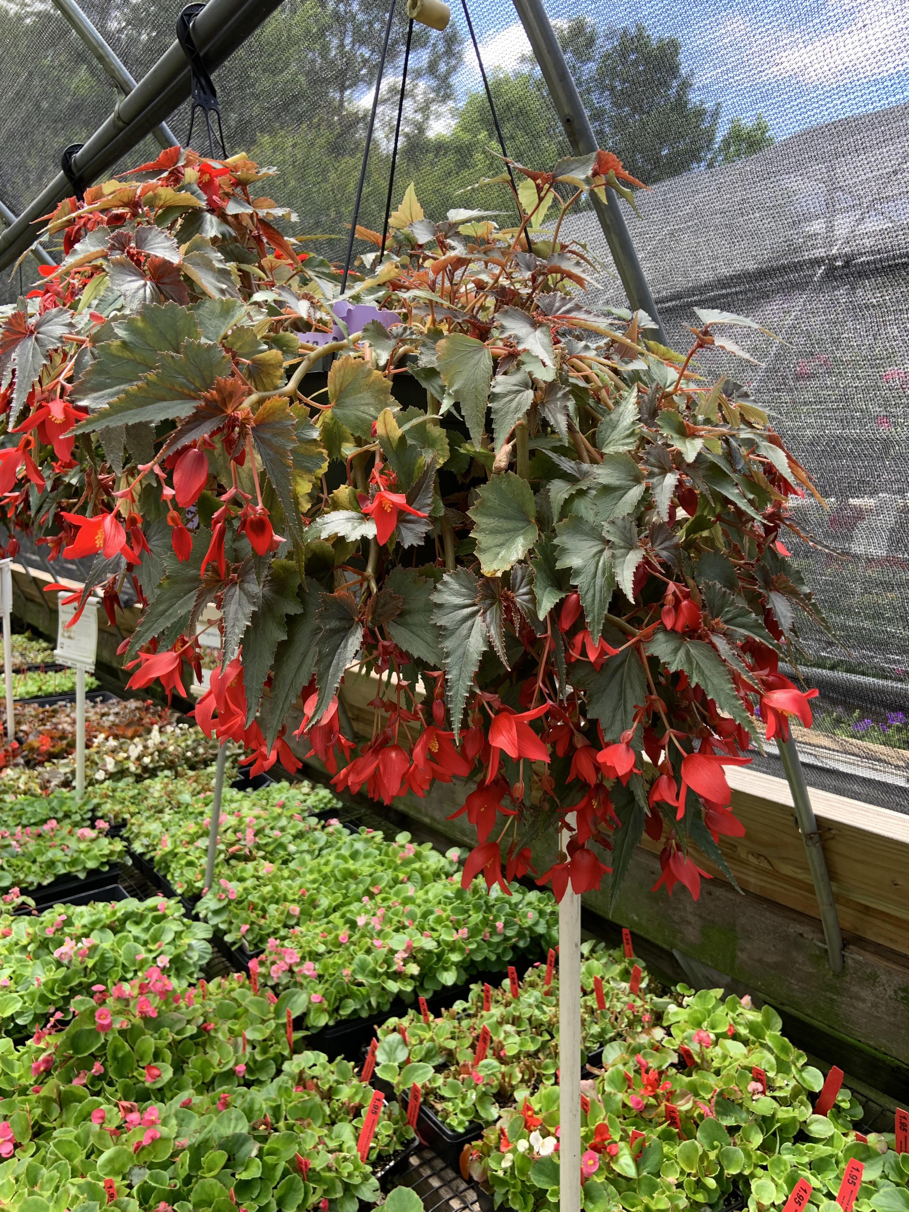Red begonias in a greenhouse