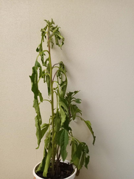 Plant with drooping leaves