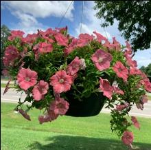 Pink petunias hanging in a pot