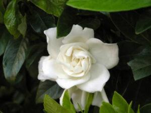 Cover photo for Gardenias